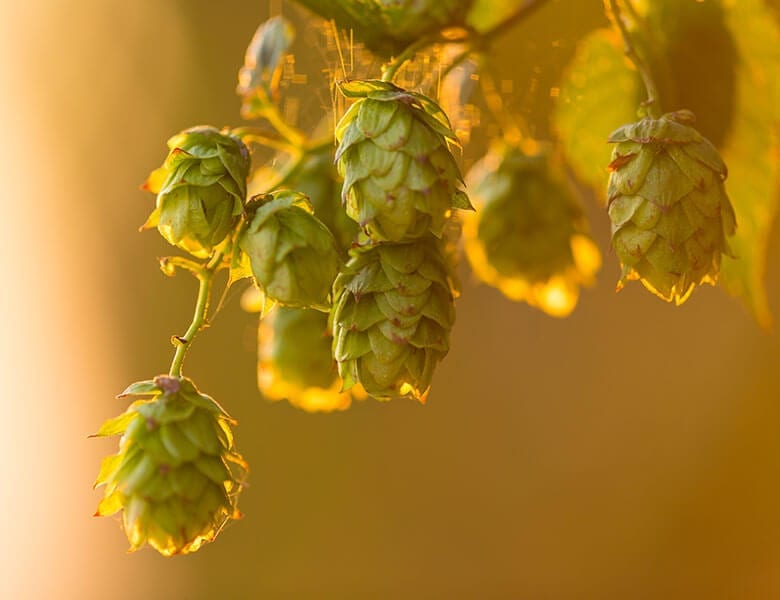 Close-up of hops plant